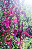 Purple plant in garden. Nice purple plant in garden on summer day Royalty Free Stock Images
