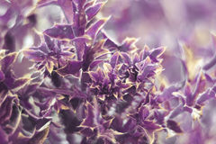Purple plant with sharp thorns and carved leaves Stock Photography