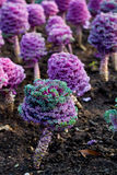 Purple plants Stock Photography