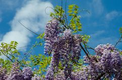 Purple plants with blue sky and clouds. Purple plants with green leaves an blue sky and clouds Royalty Free Stock Photos