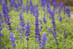 Purple plants and flowers close up in bloom on a green garden Stock Photo