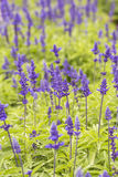 Purple plants and flowers close up in bloom on a green garden Stock Images