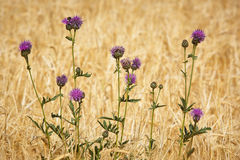 Purple plants over a warm countryside background. Summer Stock Images