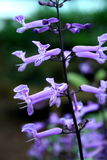 Purple Plectranthus. Purple flowers-Plectranthus in the garden stock photos