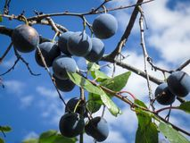 Purple plum fruits on a background of blue sky. royalty free stock photo