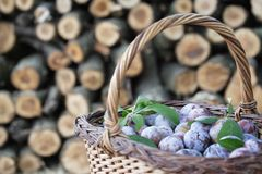 Purple plums in a basket Stock Images