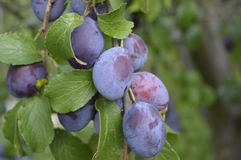 Purple plums. Hanging on branch in orchard Stock Image