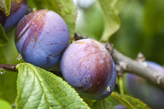Purple Plums Ripening on the Tree Royalty Free Stock Image