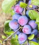 Purple plums on a tree Stock Image