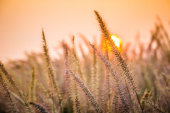 Purple poaceae Royalty Free Stock Images