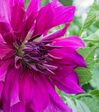 A purple pointy dahlia Royalty Free Stock Photo