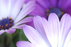 Purple Pollenation. Close-up photograph of some flowers in Tucson, Arizona Stock Image