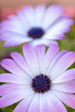 Purple Pollenation Too. Photograph of some purple flowers in Tucaon, Arizona Stock Photography