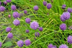 Purple Pom Pom Flowers Royalty Free Stock Photography