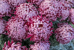 Purple pompon chrysanthemums Royalty Free Stock Image