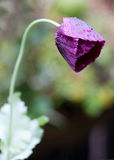 Purple Poppy. With rain drops close up Royalty Free Stock Photo