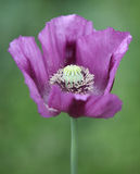Purple Poppy Stock Image