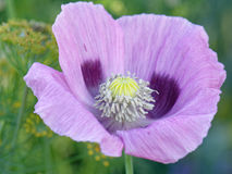 Purple poppy Royalty Free Stock Images