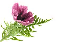 Purple poppy flower Stock Photo