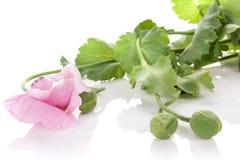 Purple poppy flower Stock Images
