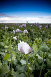 Purple poppy flower field Stock Photography