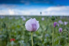 Purple poppy flower field Stock Photography