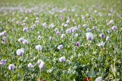 Purple poppy flower field Stock Image