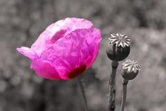 Purple poppy flower Royalty Free Stock Photography