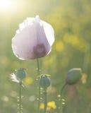 Purple poppy flower portrait in Summer sunlight Royalty Free Stock Image