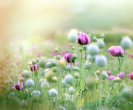 Purple poppy flowers Stock Image