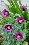 Purple poppy flowers Royalty Free Stock Image
