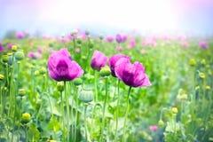 Purple poppy flowers Stock Photos