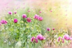 Purple poppy flowers Stock Images
