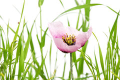 Purple poppy with grass  on white Stock Photo