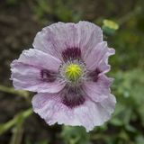 Purple poppy in close-up. flower head only Stock Photography