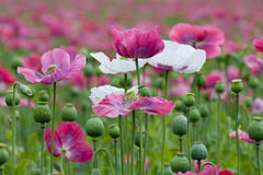Purple poppy plants blooming. Royalty Free Stock Images