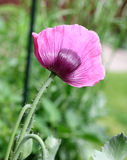Purple poppy on a soft background Royalty Free Stock Images