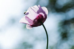 Purple poppy. Spring flower poppy with bee in the morning light Royalty Free Stock Images