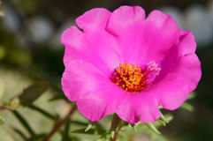 Purple Portulaca Royalty Free Stock Photography