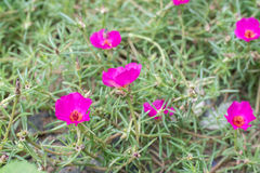 Purple Portulaca oleracea flower grandiflora in a garden Royalty Free Stock Photography