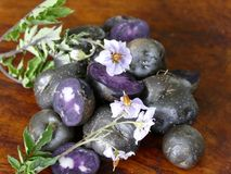 Purple Potatoes from New Zealand Royalty Free Stock Image