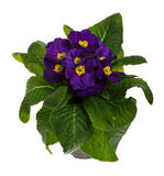 Purple potted primrose isolated on white Stock Image