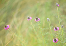 Purple prairie clover (Dalea purpurea) Royalty Free Stock Photos