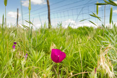 Purple prairie mallow, Kansas pasture Stock Image