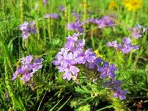Purple Prarrie Verbena, Native Wildflowers royalty free stock image