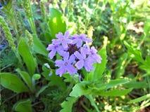 Purple Prarrie Verbena, Native Wildflowers stock image