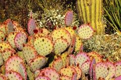 Purple Prickly Pear Cactus Desert Arizona. Purple Prickly Pear Cactus Opuntia Santa-Rita Desert Botanical Garden Papago Park Sonoran Desert Phoenix Arizona stock image