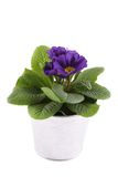 Purple Primrose Stock Photos