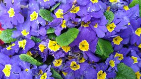 Purple primrose. Background purple primrose royalty free stock photos