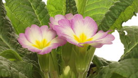 Purple Primrose Flower Time-lapse Stock Photos